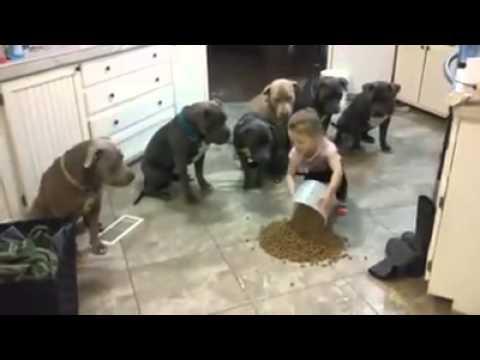 6 Pitbull tutti seduti ad aspettare la cena