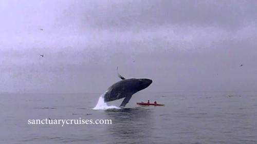 Balena salta vicino canoisti   SALVI PER UN PELO